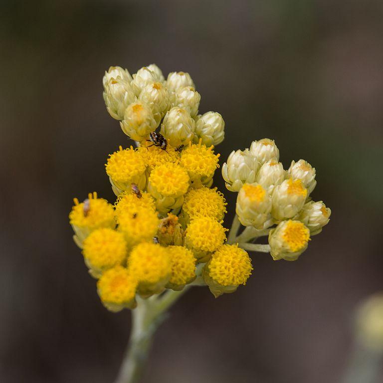 Helicrysum huile essentielle